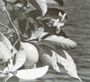 Stemmadenia grandiflora (Stemmadenia grandiflora)