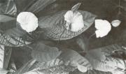 Aniseia martinicensis (Aniseia martinicensis)