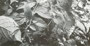 Tournefortia angustiflora (Tournefortia angustiflora)