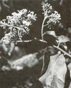 Tournefortia bicolor (Tournefortia bicolor)