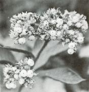 Tournefortia cuspidata (Tournefortia cuspidata)