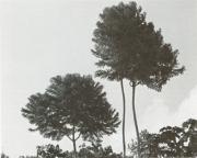 Jacaranda copaia (Jacaranda copaia)