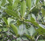 Ficus insipida