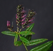 Cavendishia stenophylla
