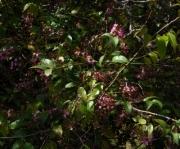 Hirtella racemosa var. hexandra
