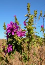 Rhynchanthera grandiflora