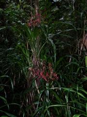 Pitcairnia valerioi