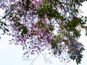 Securidaca diversifolia