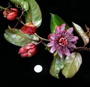 Passiflora ambigua