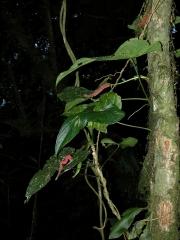 Anthurium hutchisonii