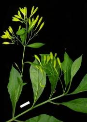 Lisianthius skinneri