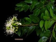 Hymenaea courbaril