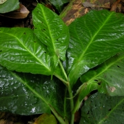 Piper sagittifolium
