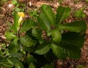 Stemmadenia donnell-smithii