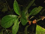 Besleria notabilis