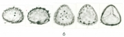 Selaginella  haematodes