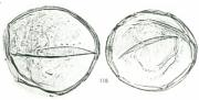 Montrichardia  arborescens