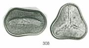 Elaeis oleifera