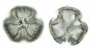 Astronium graveolens