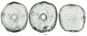 Prestonia portobellensis