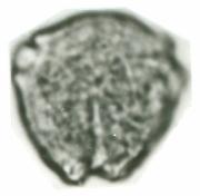 Polyscias guilfoylei