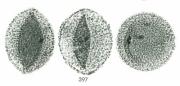 Aristolochia gigantea