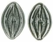 Arrabidaea candicans