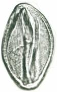 Arrabidaea patellifera