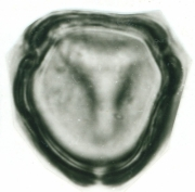 Tournefortia maculata