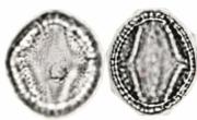 Doliocarpus dentatus