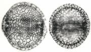 Dalechampia cissifolia panamensis