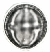 Tetrathylacium johansenii