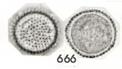 Nectandra purpurascens