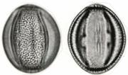 Adenopodia polystachya