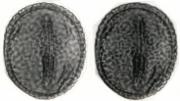 Desmodium  axillare  acutifolium