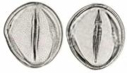 Strychnos panamensis