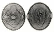 Lafoensia punicifolia