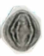 Miconia lacera