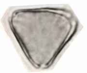 Psidium anglohondurense