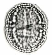 Zanthoxylum panamense