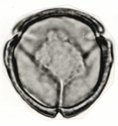 Cestrum megalophyllum