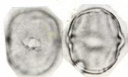 Lycianthes synanthera