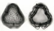 Spananthe paniculata