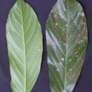 Ampelocera edentula Leaf