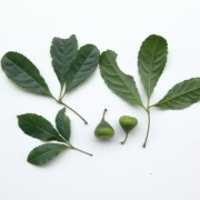 Anthodiscus chocoensis Fruit Leaf