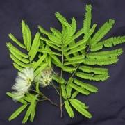 Balizia elegans Flower Leaf