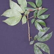 Calliandra aff. grandifolia Flower Leaf
