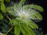 Calliandra laxa var. stipulacea Flower