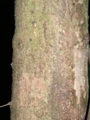 Calliandra laxa var. stipulacea Trunk