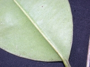 (myrtaceae) sp.14 Leaf